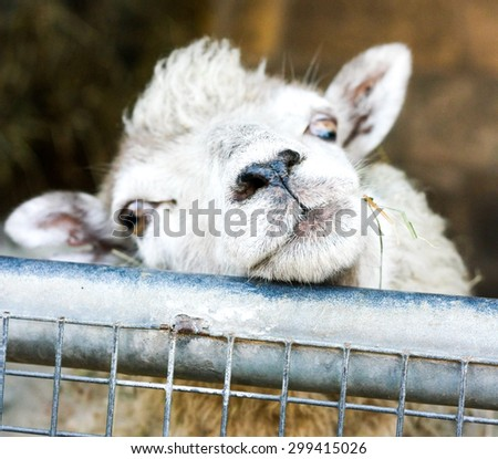 Close up picture of cute sheep looking over metal gate at people passing by. - stock photo