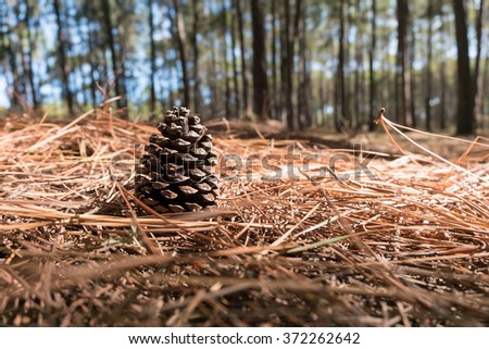 Close-up Pine Cone on the needles ground in Coniferous forest - stock photo