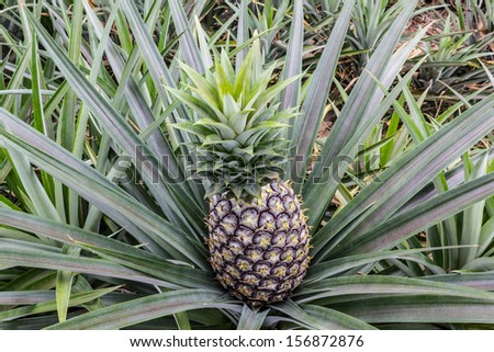 Close up pineapple fruit farm growing nature background