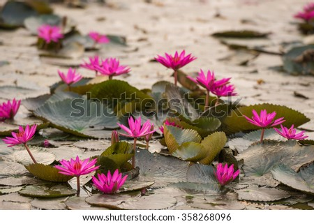 close up pink color fresh lotus blossom or water lily flower blooming on pond background - stock photo