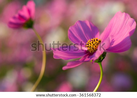 close up pink cosmos flowers in field. - stock photo