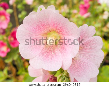 Close up Pink Hollyhocks flower in the garden with blur background