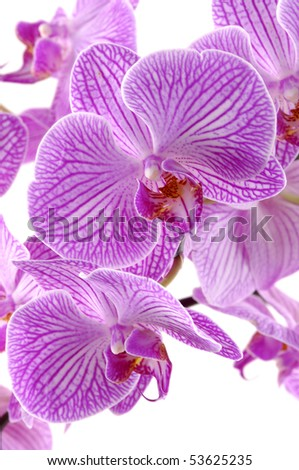 Close up pink orchid