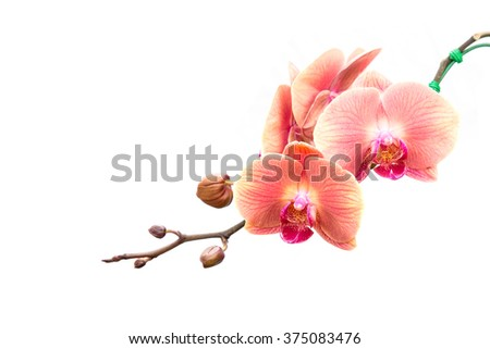 Close up pink orchid isolated on white background - stock photo