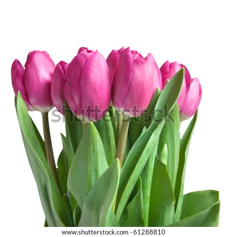 close-up pink tulips isolated on white - stock photo