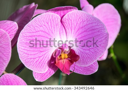 Close up Pink violet orchid flower ( Phalaenopsis )