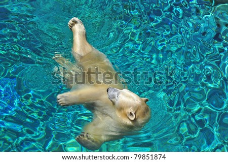 Close up, Polar bear swimming in blue water (Ursus maritimus).