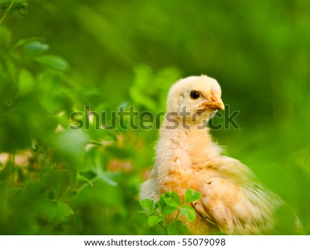 Close up portrait of a baby chick in grass