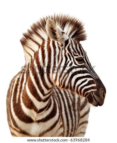 Close-up portrait of a  baby zebra isolated on white - stock photo