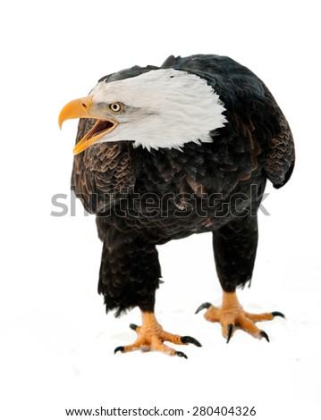 Close up Portrait of a Bald eagle (Haliaeetus leucocephalus washingtoniensis ) with an open beak . Isolated on white. - stock photo