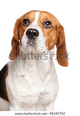 Close-up portrait of a Beagle dog on white background - stock photo