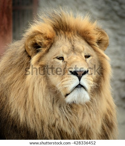 Close-up portrait of a beautiful fluffy Lion - stock photo