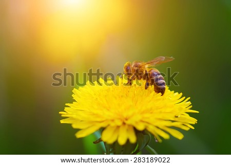 Close-up portrait of a bee on a yellow dandelion. - stock photo