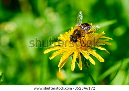 Close-up portrait of a bee on a yellow dandelion - stock photo
