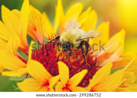 Close-up portrait of a bee on a yellow flower. - stock photo