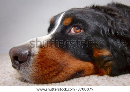 Close up portrait of a Bernese Mountain Dog (also known as Bouvier Bernois or Berner Sennenhund), lying on the carpet looking up mournfully. - stock photo