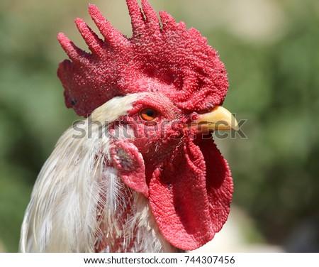 bigcock head