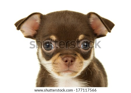 Close-up portrait of a Chihuahua puppy - stock photo