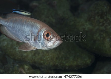 Close up portrait of a cute curious  tropical offshore coral reef fish, a Robust bigeye (Priacanthus sagittarius), in the popular holiday destination of the Maldives Islands