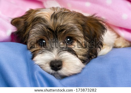 Close-up portrait of a cute little tricolor Havanese puppy dog is lying on a bed under a pink blanket. Isolated on a white background  - stock photo