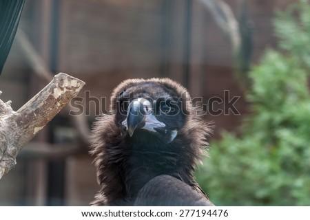 Close up portrait of a Eurasian black vulture - stock photo