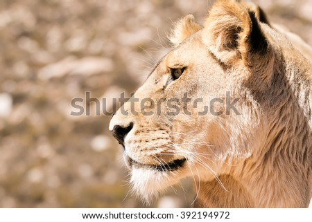 Close up portrait of a female lioness in her natural environment in South Africa