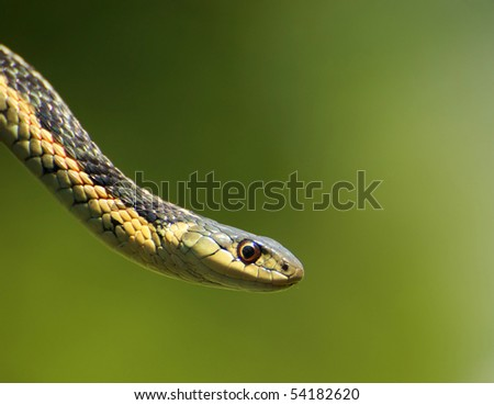Close up portrait of a garter snake with copy space. - stock photo