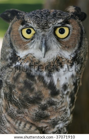 Close up portrait of a great horned owl in captivity. - stock photo