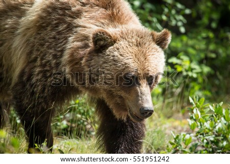 Close up portrait of a large male brown bear looking toward the camera with green forest in background