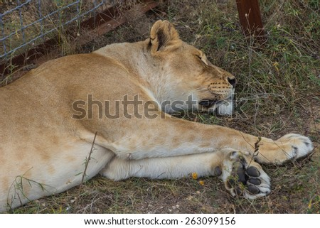 Close-up portrait of a lion lying on the ground - stock photo