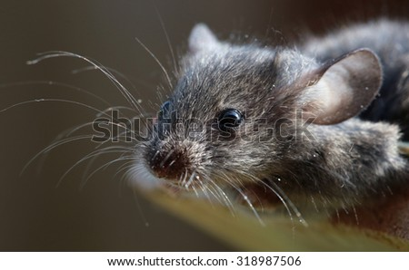 close-up portrait of a little field mouse in natural habitat - stock photo