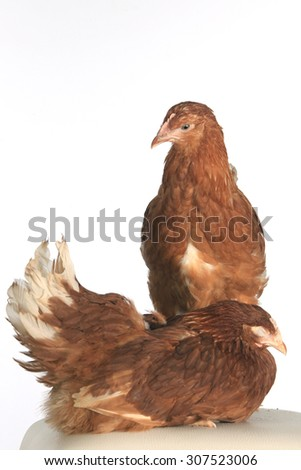 close-up portrait of a pair of hens red color on a white background studio