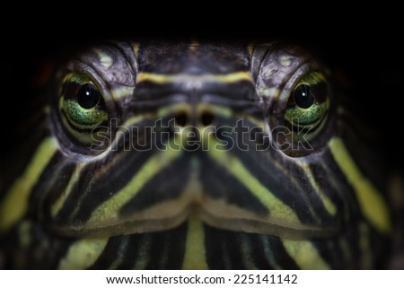 close up portrait of a pet turtle with a shallow depth of field - stock photo