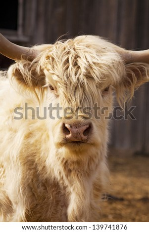 Close up portrait of a red highland cow in barnyard. - stock photo