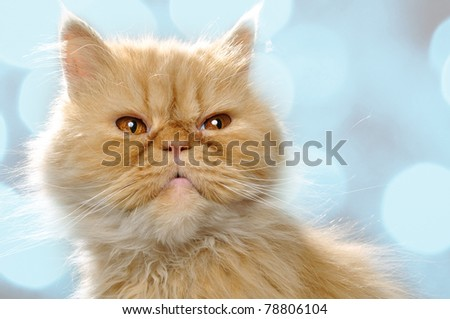close-up portrait of a red Persian breed cat