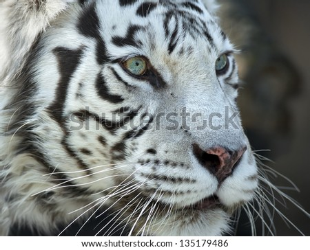 Close up portrait of a severe white bengal tiger - stock photo