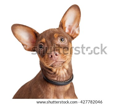 Close-up portrait of a small Chihuahua mixed breed dog with big ears and loving expression