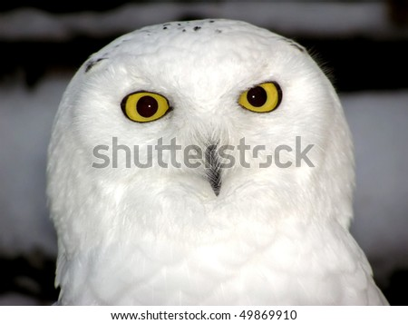 Close-up portrait of a snowy owl with detailed eyes and feathers - stock photo