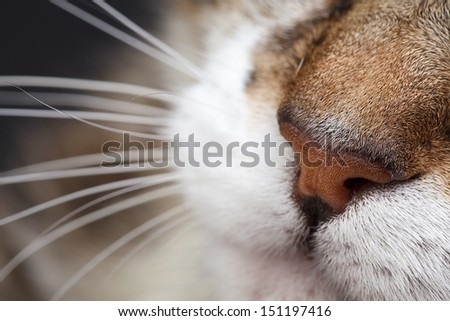 Close Up Portrait of a three colored Housecat in Studio - stock photo