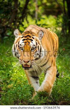 Close-up portrait of a Tiger in front of a forest - stock photo