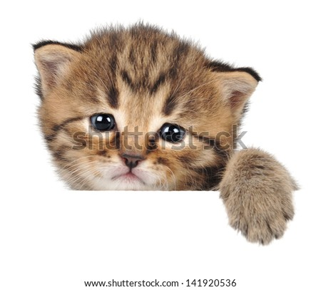 Close-up portrait of a very small kitten at the age of 20 days. Studio shot. Isolated. - stock photo