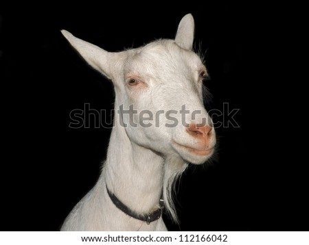 Close-up portrait of a white goat against black background - stock photo