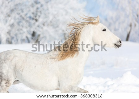 Close up portrait of a white horse in winter landscape.