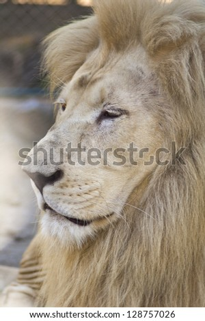 Close up portrait of a white lion male animal.