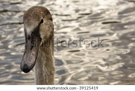 close up portrait of a young baby swan - stock photo