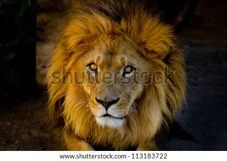 Close-up portrait of a young lion - stock photo