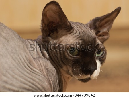 Close-up portrait of adult hairless Don Sphinx  - stock photo