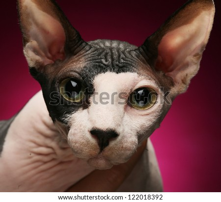 Close-up portrait of adult hairless Don Sphinx on pink background