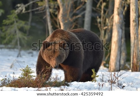 Close-up Portrait of Adult Male of Brown Bear (Ursus arctos) in sunset light. Spring forest - stock photo