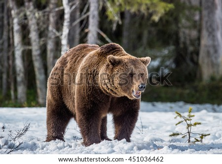 Close-up Portrait of Adult Male of Brown Bear (Ursus arctos) on the snow in sunset light. Spring forest, swamp - stock photo